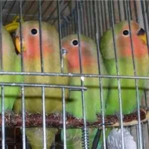 Попугай неразлучник птенец ,  продам за 1000 р