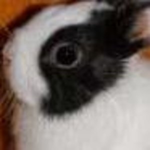 Продам карликового крольченка!