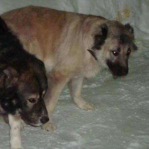 Продам щенят кавказа