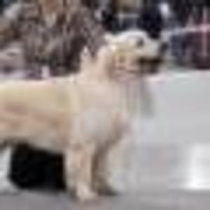 Продам голден (золотистого) ретривера щенки
