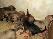 Продаются щенки породы Тоса ину (японский мастиф)