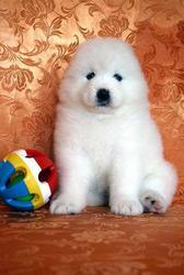 Продаются роскошные белоснежные длинношерстные щенки  самоеда